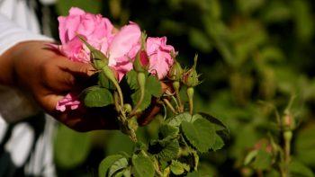 Coltivazione delle rose